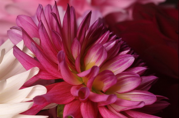 flower dahlia orchid pink purple wedding bouquet